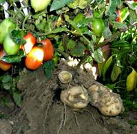 Невероятные гибриды. Картофельный томат