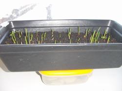 Грядка на подоконнике из севка.