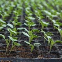 Рассада: 10 ошибок при выращивании