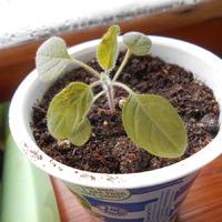 Выращиваем Пепино.