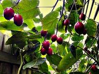 Томатное дерево. Выращивание и размножение
