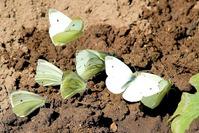 Декоративная капуста. Защита от вредителей