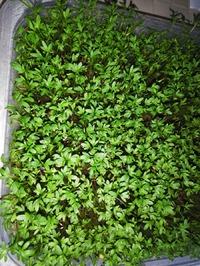 Микрогрин кресс салата