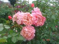Розы, лилейники, лилии.