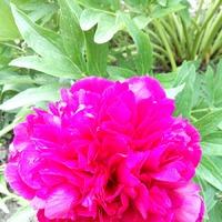 Мои цветы. Тюльпаны и другие. Часть первая.