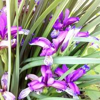 Мои цветы. Ирисы. И другие. Часть вторая.