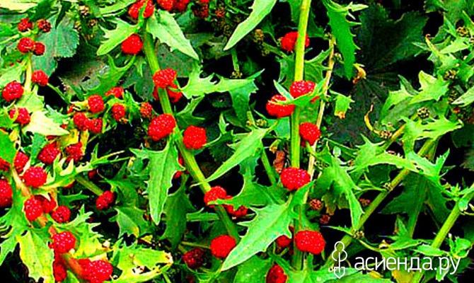 Чудесная шпинат-малина. Знакомство