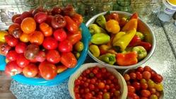 Сорта томатов 2018 года часть 4
