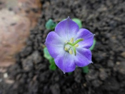 Колокольчики мои, цветики степные...