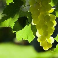 Чем полезны виноградные листья?