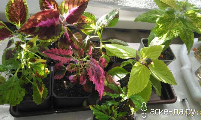 «Крапива» с шикарными листьями. Размножение