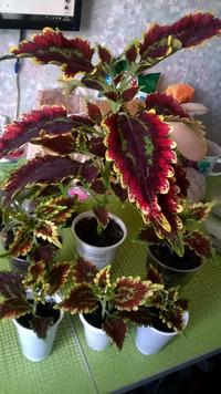 «Крапива» с шикарными листьями. Маточники