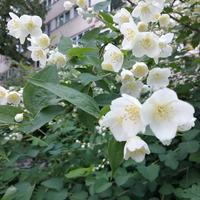 Бело-розовый Санкт-Петербург