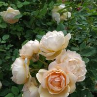 Заканчивается первое цветение роз.