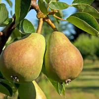 Почему растрескиваются плоды груш?
