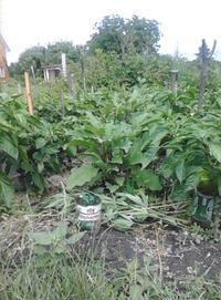 Нюансы выращивания баклажанов и сладкого перца у меня на даче