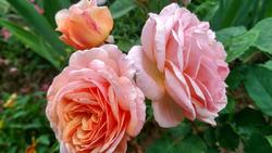 Пройдемте в сад, я покажу вас розам..