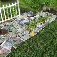 Как замульчировать почву газетами?