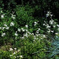 Лилии, лилии... прекрасный и благородный цветок.