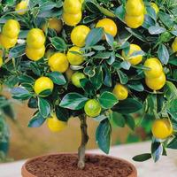 Чем удобрять комнатный лимон?