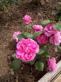 Помогите опознать розу?