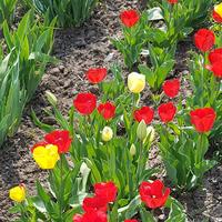 Как цвели цветы весной в моем саду. Много фото
