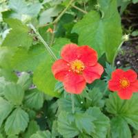 Гравилат красноцветковый в саду