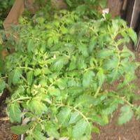 Урожайные грядки, Высадка рассады на ПМЖ, ( испытание новых гибридов, продолжение)