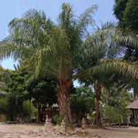 Масличная пальма и её критикуемое масло
