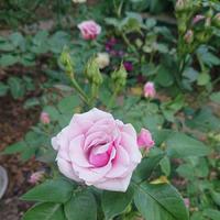 Первые розы. Середина июня 2019