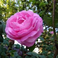 Розовый ликерчик
