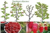 Урожайная обрезка малины по Соболеву...