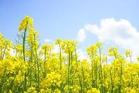 Семеноводство белокочанной капусты