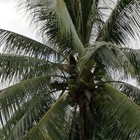 Многопрофильная Кокосовая пальма