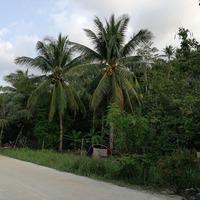 Плодовые деревья острова Панган
