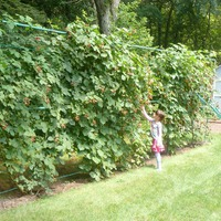 Шпалера для выращивания ежевики: нужна ли?