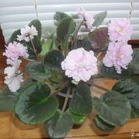 Новоселье у моих малышей Фиалок (сенполий) или мое новое цветочное обострение!!!