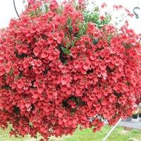 Диасция ампельная, шикарный цветок всем советую.