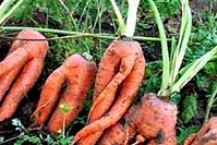 Морковные почему. Не стандартные корнеплоды