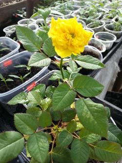 Миниатюрные розы. Размножение, уход