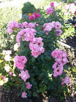 Миниатюрные розы. Сорта