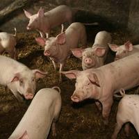 Годится ли свиной навоз на роль удобрения?