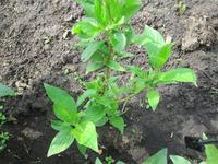 Помогите опознать растение.