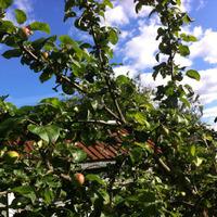 Вопрос по яблоне, болезнь или негодяй какой ест?