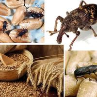 Как избавиться от зернового долгоносика?