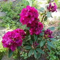 Майские фото моих цветущих растюшек
