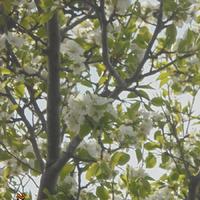 Пришла и к нам... наконец - то весна!, Подвязхка винограда на шпалеры.