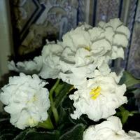 Фиалки ( Сенполия)