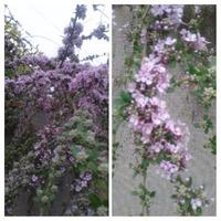 Помогите опознать красивый кустарник