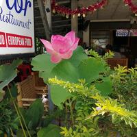Лотос – растение земноводное